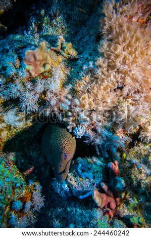 Giant Morey Eel on the Coral Reef in the Red Sea - stock photo