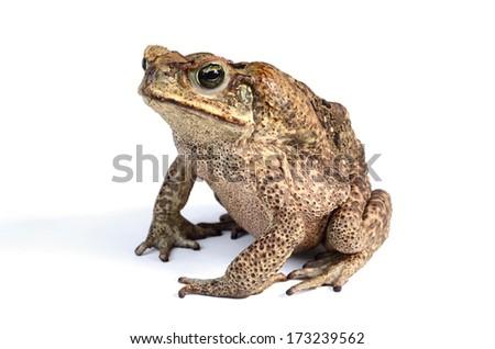 Giant neotropical toad (Rhinella marina) - stock photo
