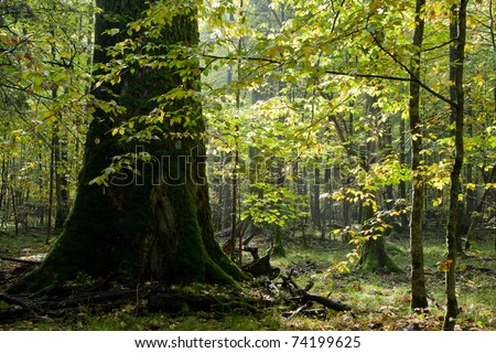 Giant oak tree grows among young hornbeam trees against bright sun
