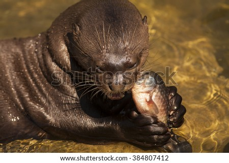 Giant otter lying on the shallow part and eating fish.