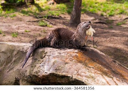 Giant otter standing on a rock with prey in the teeth - stock photo