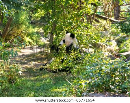 Giant Panda - stock photo