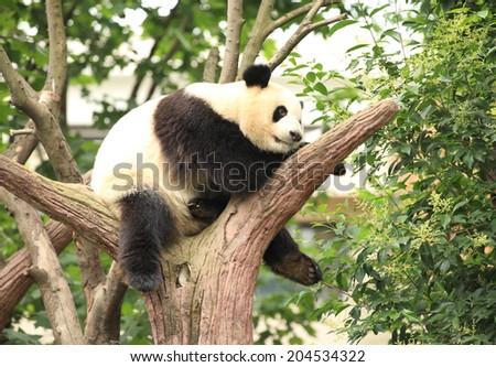 giant panda at chengdu, china  - stock photo