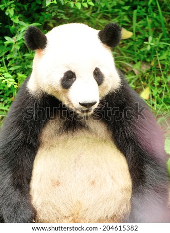giant panda at chengdu, china  - stock photo