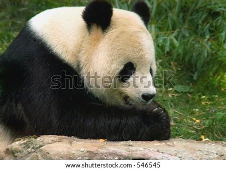 Giant panda at National Zoo in Washington. 2 - stock photo