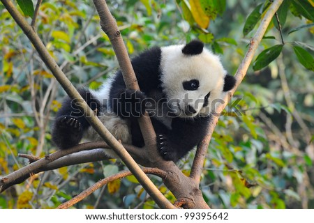 Giant panda bear - stock photo
