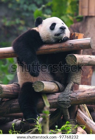 Giant panda bear afternoon nap ( sleeping) - stock photo