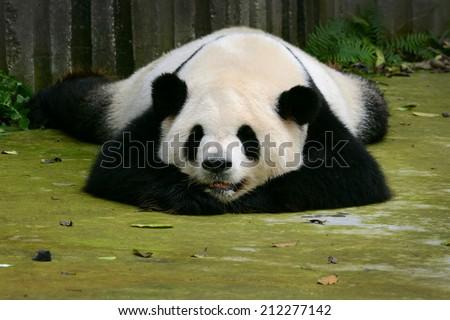 Giant panda bear cute sleeping Chengdu, China - stock photo