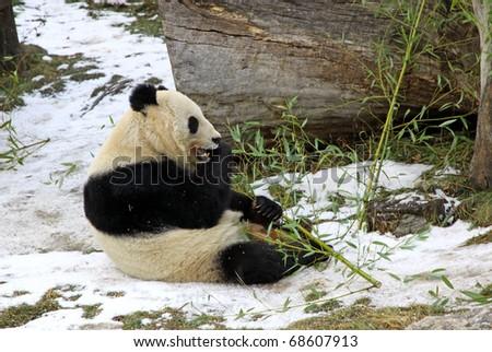 Giant panda bear eating bamboo leaf in Vienna Zoo, Austria - stock photo
