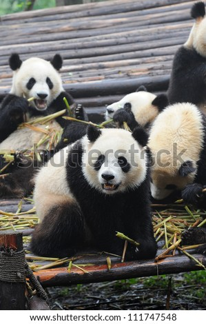 Giant panda bear eating bamboo with fellow panda bears at the background