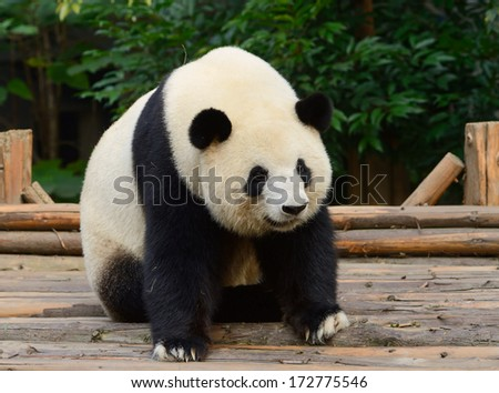 Giant panda bear resting at Chengdu, China