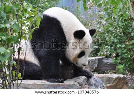 Giant panda bear resting on the stone. Australia, Adelaide zoo - stock photo