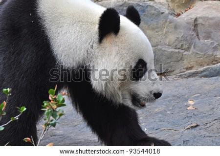Giant panda bear walking. Close up. - stock photo