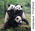 Giant panda bears playing together - stock photo