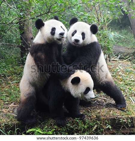 Giant panda bears playing together - stock photo