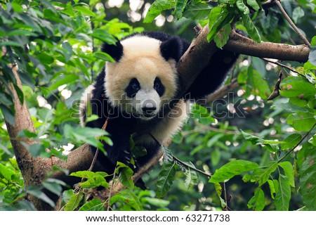 Giant panda climbing tree - stock photo