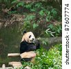 Giant panda eating bamboo - stock photo