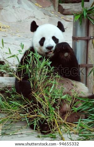 giant panda eating bamboo leaves - stock photo