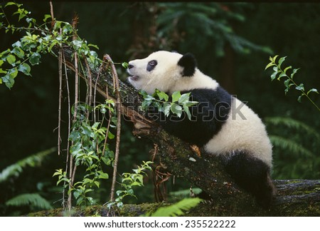 Giant Panda in the Forest - stock photo