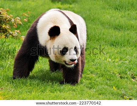 Giant panda is standing with tongue hanging out. - stock photo