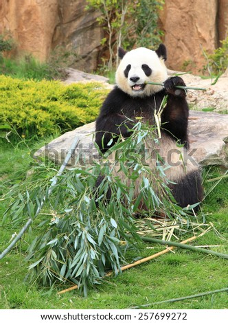 Giant panda sitting and eating bamboo leaf - stock photo