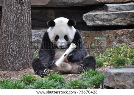 Giant Panda sitting up, and playing with a toy. Australia, Adelaide zoo - stock photo