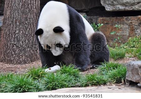 Giant Panda sitting up. Australia, Adelaide zoo - stock photo