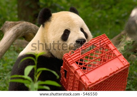 Giant panda with milk crate at National Zoo in Washington 4 - stock photo