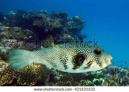 Giant Puffer_Arothron stellatus on the coral reef - Red Sea