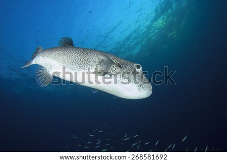 Giant Pufferfish - stock photo
