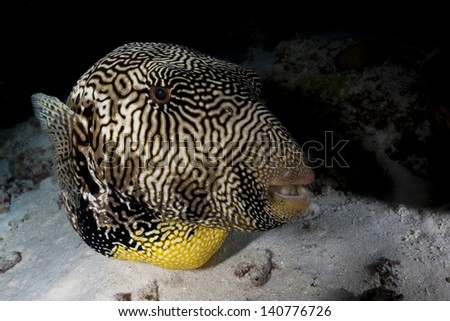 Giant pufferfish close up in night dive in maldives - stock photo