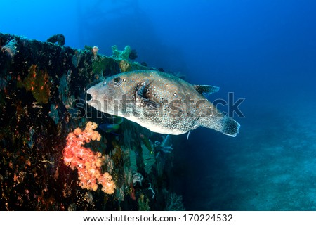 Giant Pufferfish feeds on the encrusted surface of an underwater shipwreck - stock photo