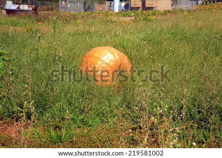 Giant pumpkins being nurtured and grown in a Pumpkin Patch. Prize winning Giant Pumpkins are always popular at state fairs and farm shows. Pumpkins are an important crop for people and animals. - stock photo