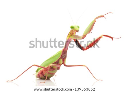 Giant Rainforest Mantis (Hierodula majuscula) isolated on white background.