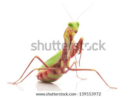 Giant Rainforest Mantis For Sale Giant Rainforest Mantis