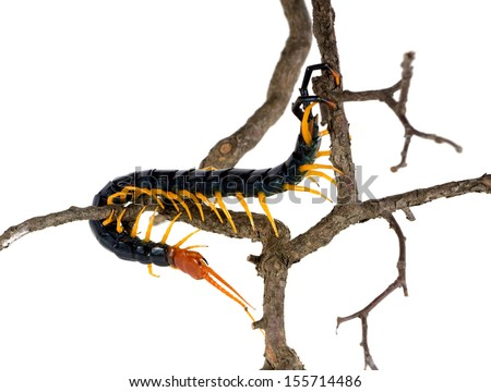 Giant Red-Headed Centipede  (Scolopendra heros) crawling on a branch. One of the biggest millipedes - stock photo