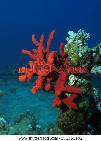 Giant red sea sponge - stock photo