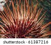 Giant Red Sea Urchin - stock photo