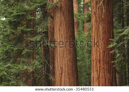 Giant redwood trees in Sequoia National Park, CA - stock photo