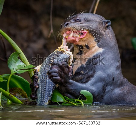 Otter Eating Stock Images Royalty Free Images Vectors