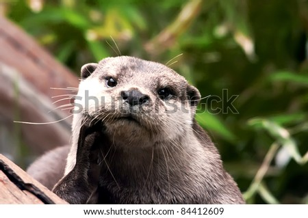 giant river otter looking at camera, costa rica - stock photo