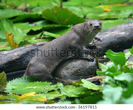 giant river otter standing on submerged tree, Tortuguero National Park, costa rica, central america. Pteronura brasiliensis weasel also found in amazon and pantanal carnivourous mammal - stock photo