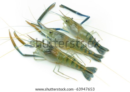 Giant river prawn