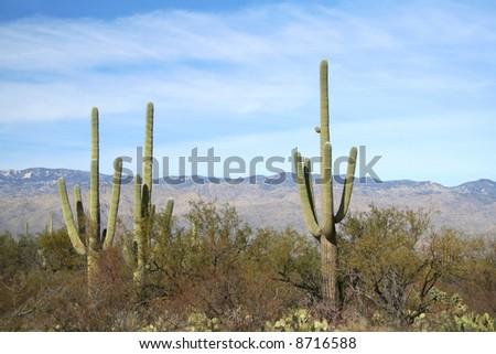 Giant Saguaro cacti at Saguaro National Park, Sonoran Desert, Tucson, Arizona - stock photo