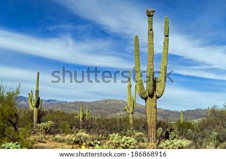 Giant saguaro cactus at Saguaro National Park, Arizona  Vintage America / USA / Cactus / Wild West / New Mexico / Las Vegas / Cactus Desert Background - stock photo