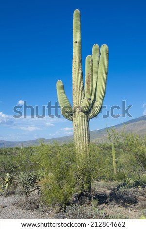 Giant Saguaro cactus in Sonoran desert in southern Arizona