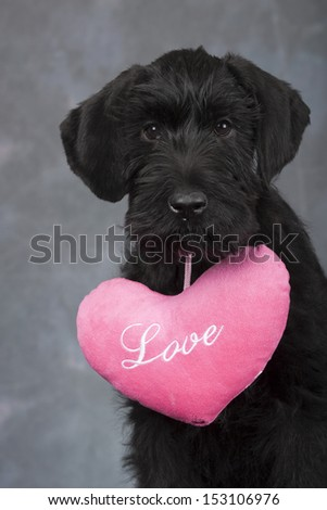 Giant schnauzer puppy love