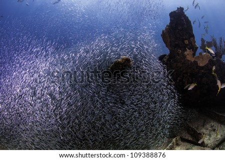 Giant school of minnows on the wreck of the Benwood in Key Largo, Florida. Bait ball of minnows inside the John Pennekamp State Park. Food for various fish. - stock photo