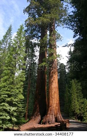 Giant Sequoia - stock photo