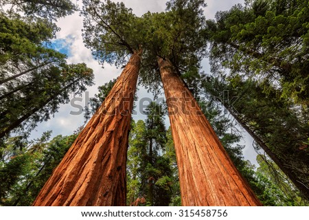 Giant Sequoias Fores in California Sierra Nevada Mountains, United States. - stock photo